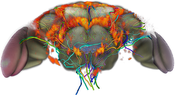 Flybrain: Visualization of neural clusters in the fly brain